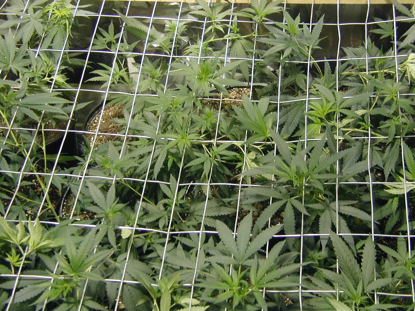 Growing Great Marijuana by Logan Edwards (2006, Softcover)